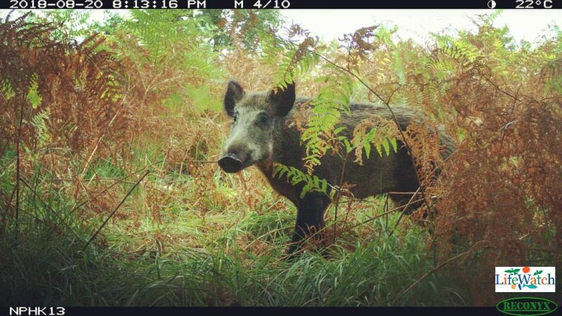 PhD research reveals wild boar behaviour